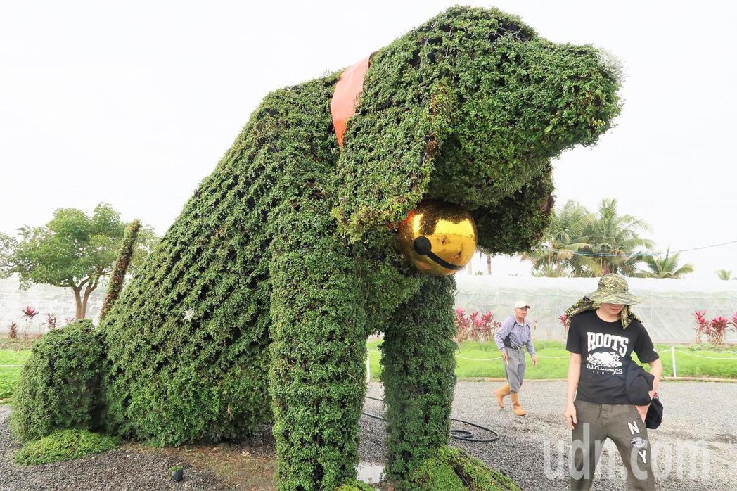 農民利用農藝技術展現的綠色米格魯,十分吸睛。記者翁禎霞/攝影
