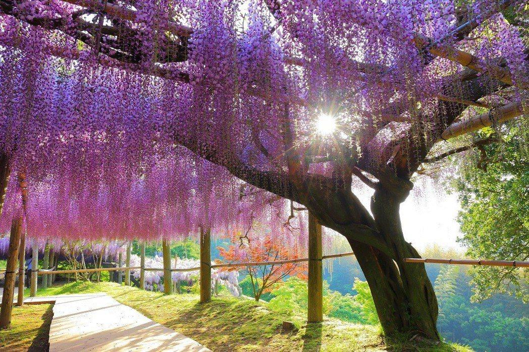 生肖屬牛的推薦到日本福岡河內藤園賞紫藤花。 KAYAK/提供