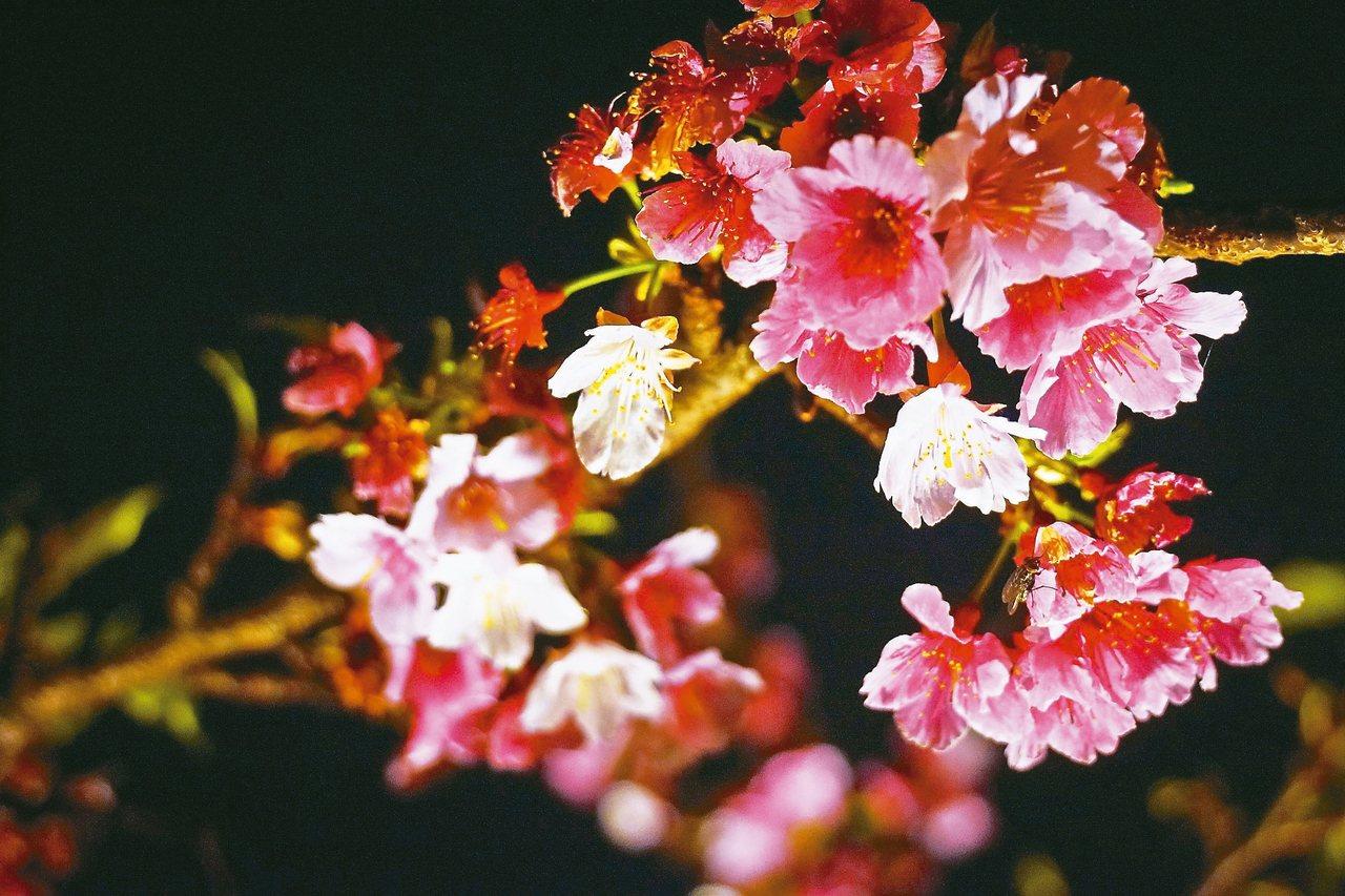 夜晚的櫻花在燈光映照下更顯嬌艷動人。 圖╱台北市觀光傳播局提供,高讚賢攝