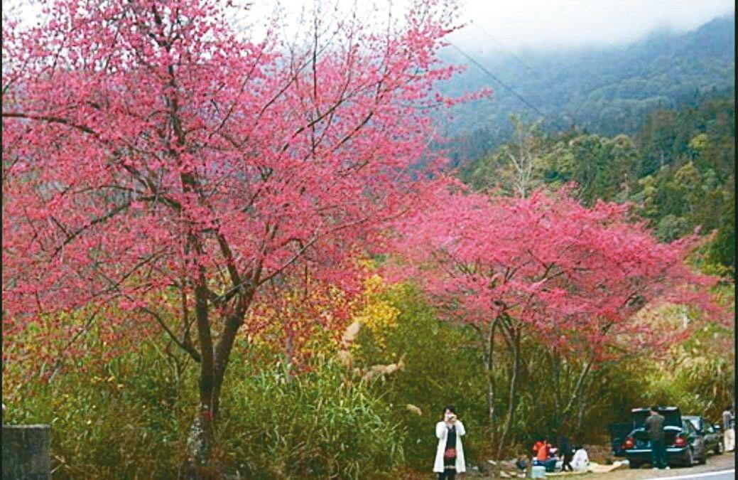 台8線中橫公路從太魯閣、天祥至關原種植3千多棵緋寒櫻及八重櫻,正值緋寒櫻花盛開。...