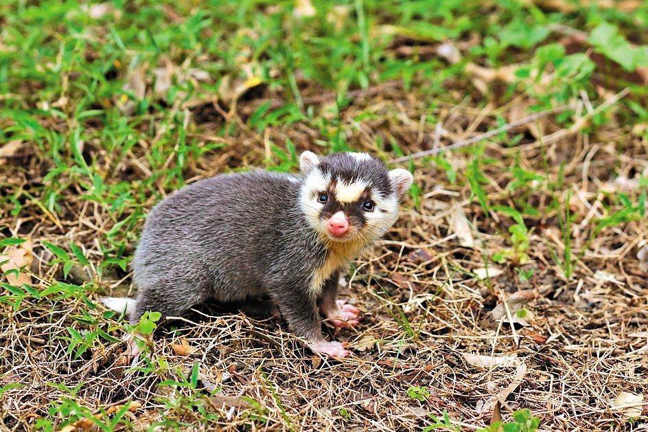 台灣的鼬獾狂犬病的病毒株,事實上演化自狗身上的狂犬病毒,而且最重要的是其高致死率...
