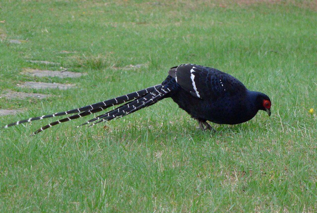 出沒在玉山國家公園塔塔加地區的黑長尾雉。 圖/玉管處提供