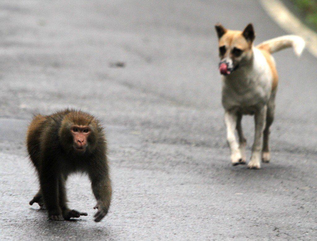 浪犬與浪貓也已經在平地與淺山地區已經造成的諸多生態與路殺問題。圖片地點為汐止大尖...