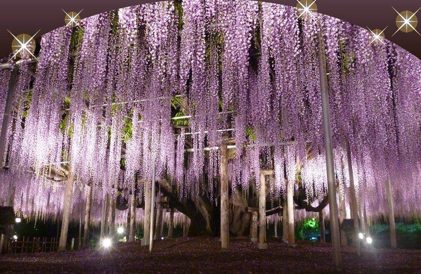 來一趟世界夢幻旅遊景點,去看足利花卉公園的紫藤花海。 圖/有行旅提供