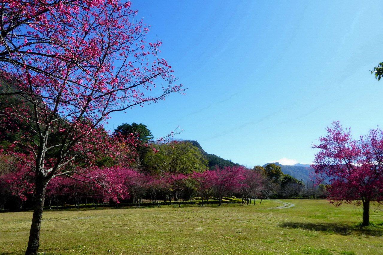 仁愛鄉奧萬大目前由粉紅色系單花瓣的山櫻花正盛綻,目前已花開約4成。圖/南投林管處...