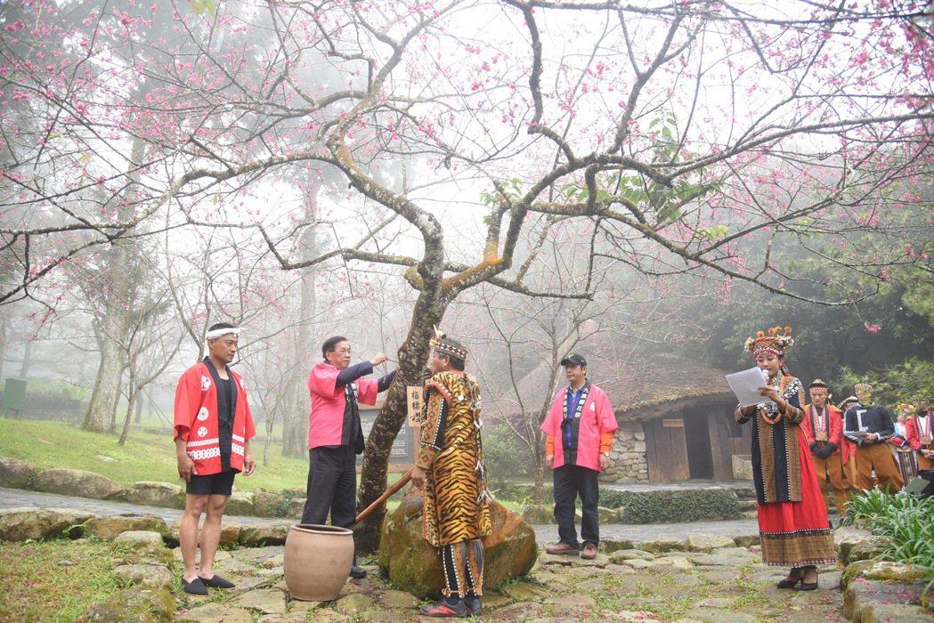 九族文化村內種植櫻花約5000棵,因日前冷氣團、寒流接連襲台,櫻況也如期報到。圖...