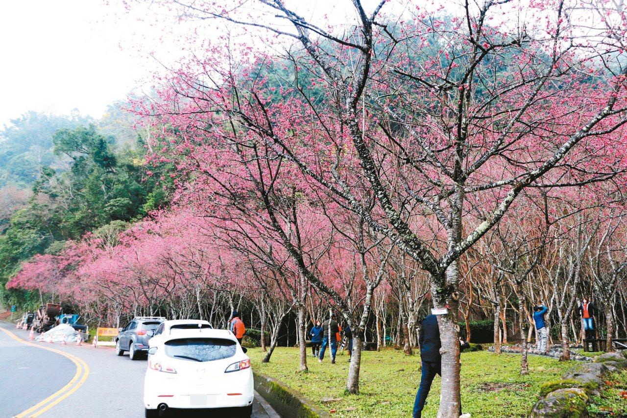 宜蘭的櫻花開了,其中,三星鄉台7丙線沿途花開很美。 圖/讀者提供