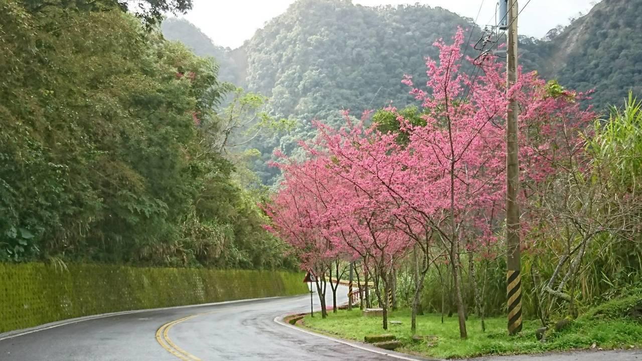 山櫻花開花,中橫沿線形成了美麗的緋紅景觀。 圖/公路總局提供