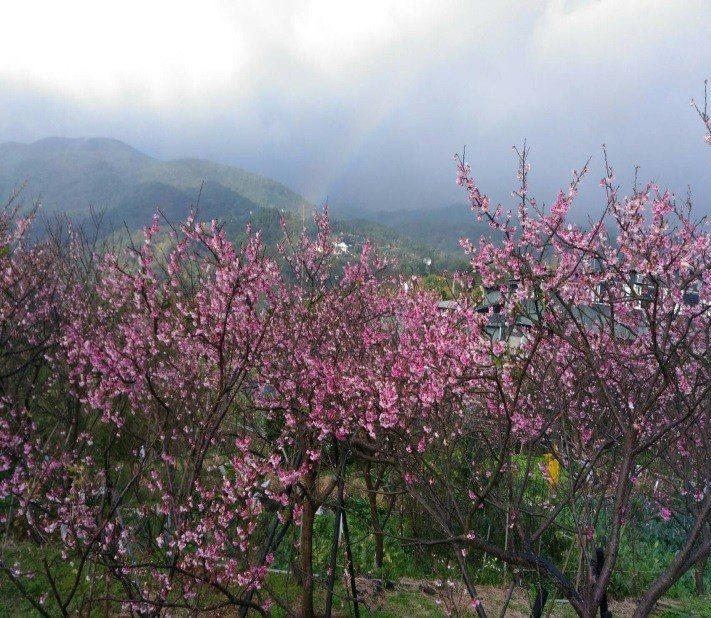 陽明山平等里的山櫻花預計還有一周花期。 圖/公園處提供