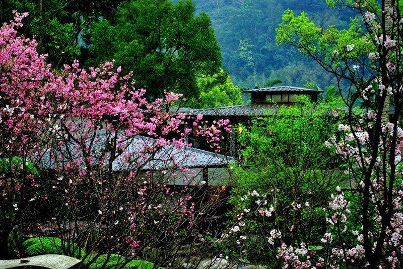 民眾拍下大板根裡的春櫻景色。 業者/提供