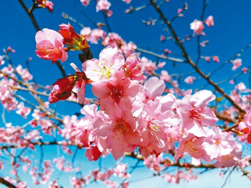 桃源區櫻花公園的櫻花陸續綻放,花期預計到2月底。 圖/本報系資料照