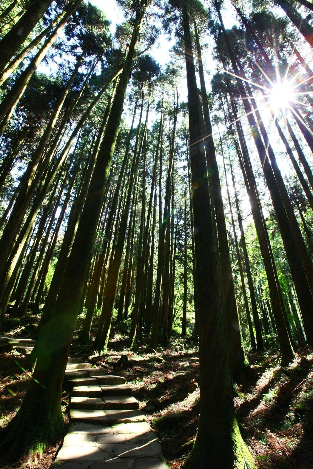 阿里山遊樂區巨木群吸取芬多精。圖/林務局提供