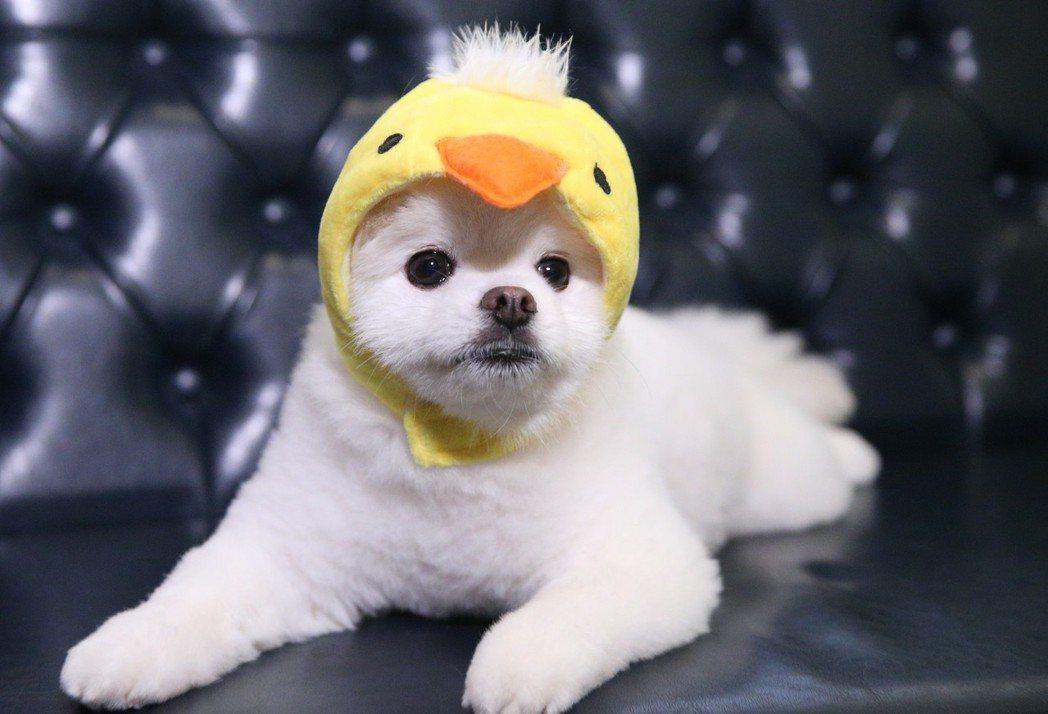 邵雨薇為愛狗阿逼過年穿新衣。記者陳正興/攝影