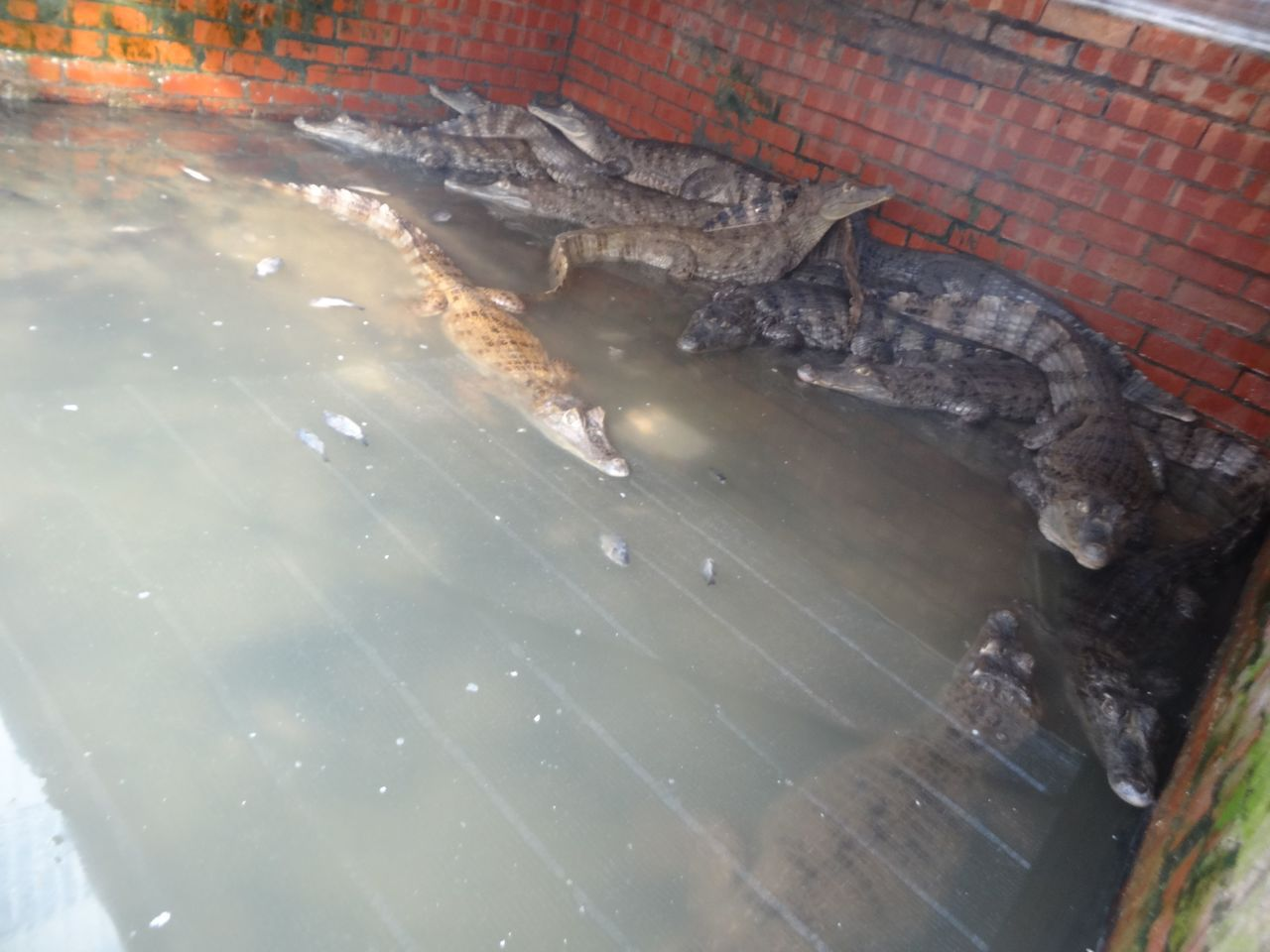 超怕冷 冷血動物鱷魚用新科技產品泡溫泉保命