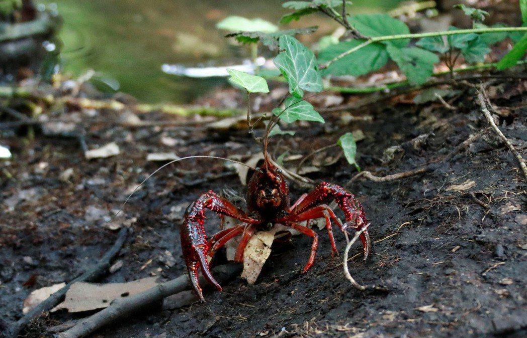 不只在歐洲,大理石紋螯蝦也在亞洲與非洲現蹤。 路透