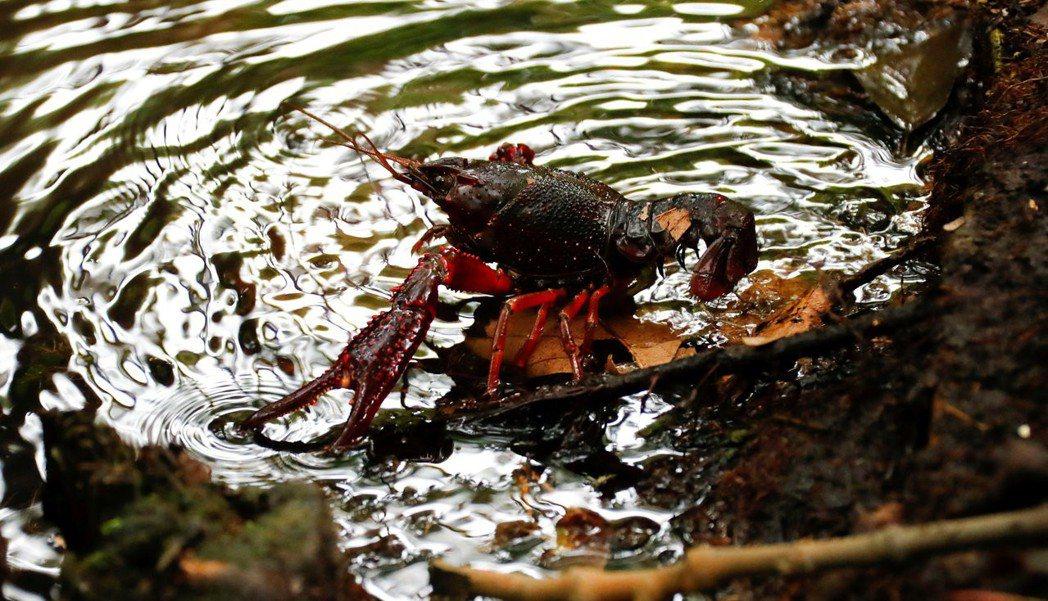 大理石紋螯蝦在野外生存,繁衍出愈來愈多的生態群落。 路透