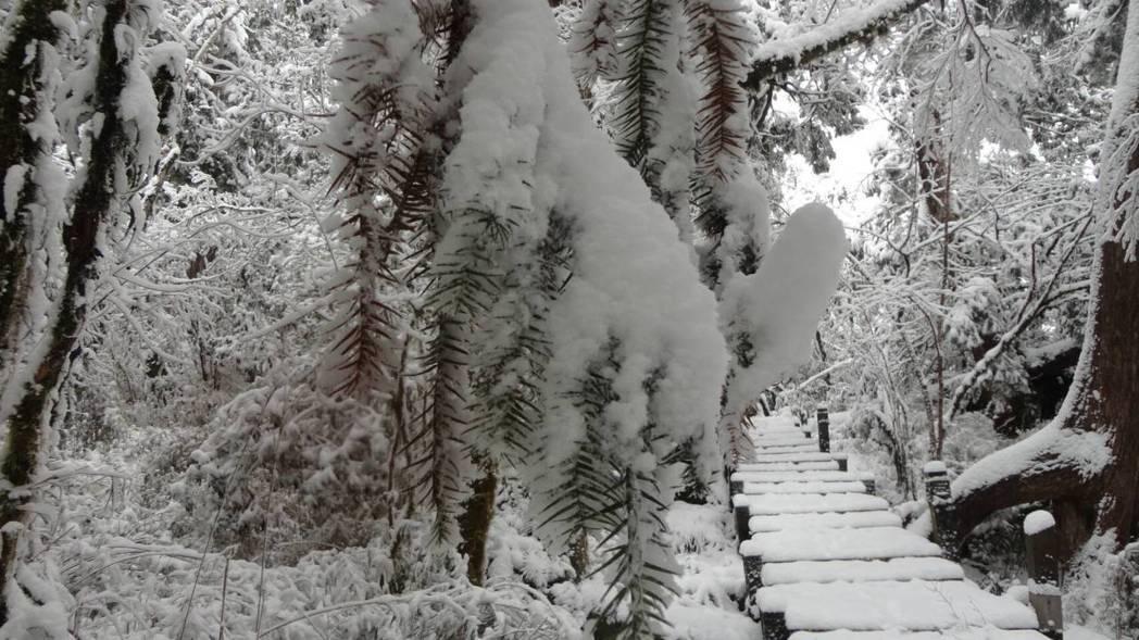 目前太平山海拔一千公尺以上就積雪,深達32公分。圖/羅東林管處提供