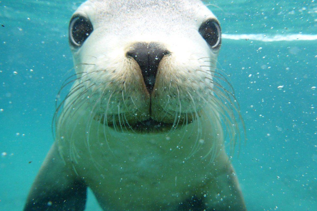 遊客可以在南澳洲林肯港附近,與澳洲海獅一同徜徉海中玩樂。visitportlin...