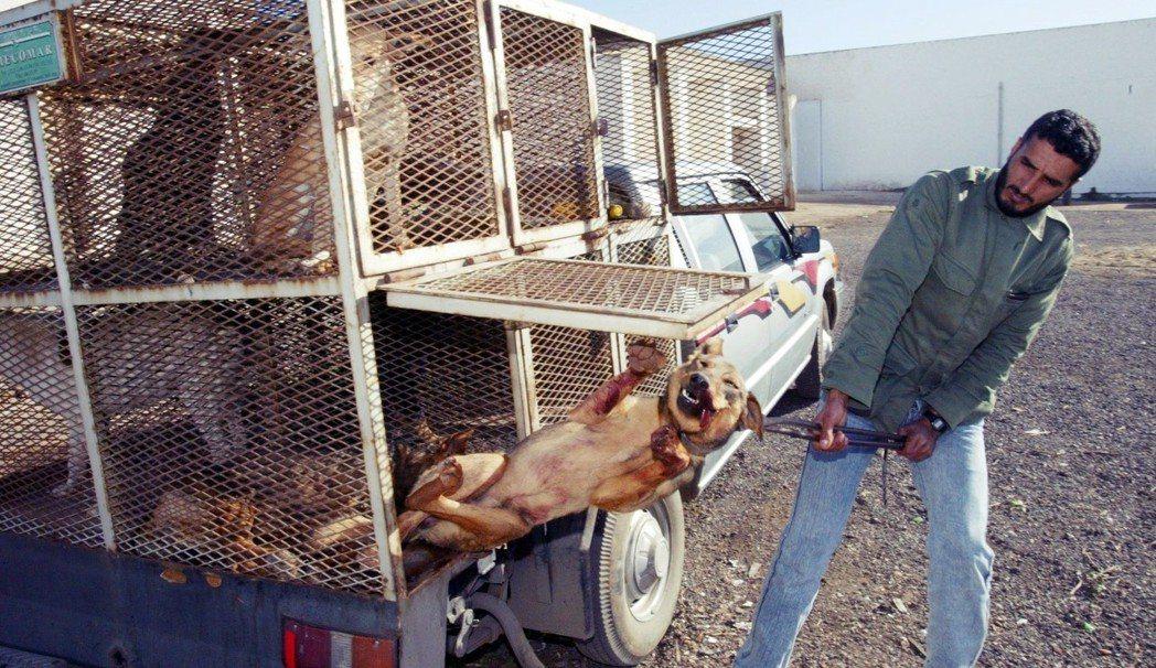 圖為摩洛哥撲殺都市流浪犬的過程。 圖/法新社