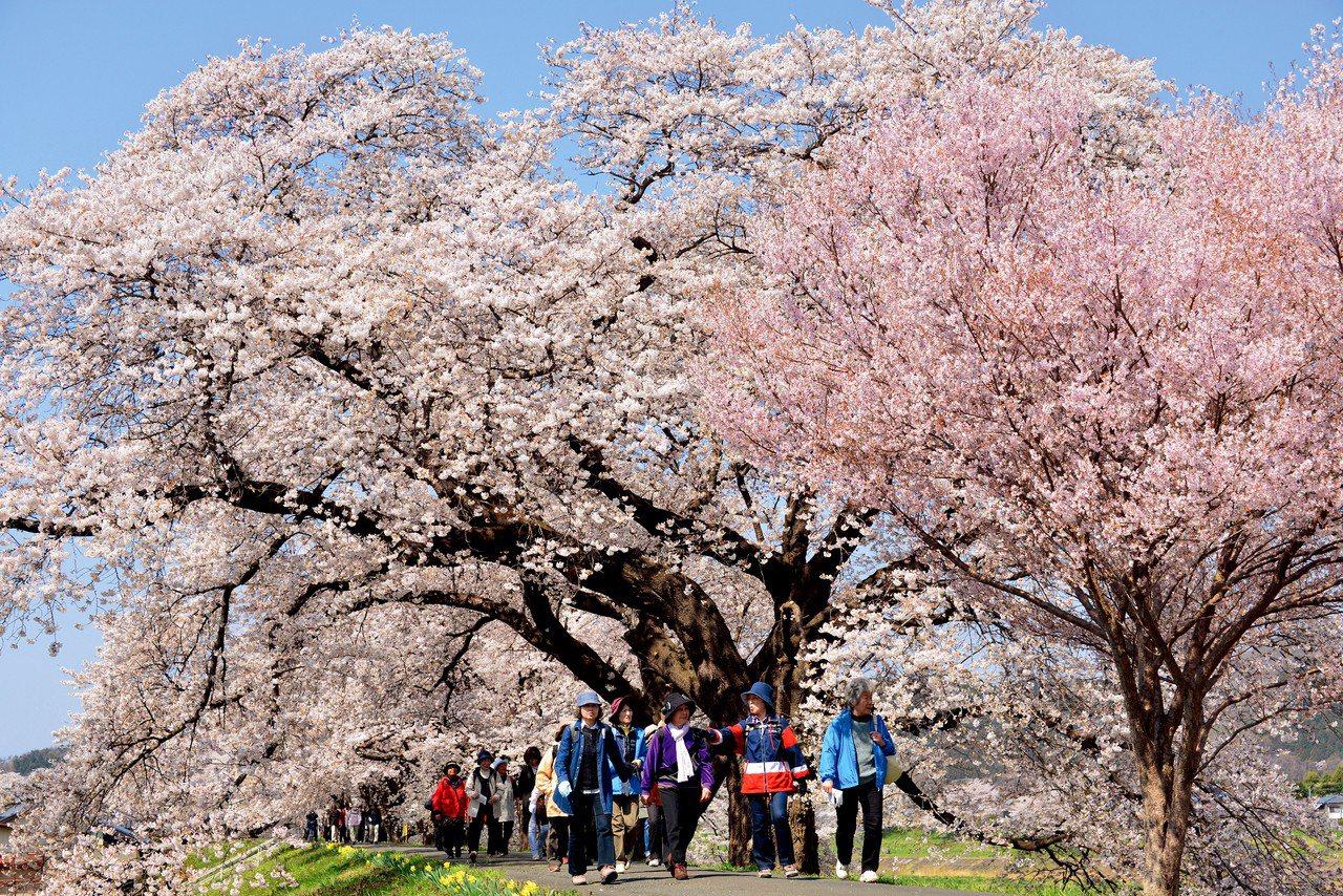 ▲日本宮城櫻花。(圖/Tripbaa趣吧!達人帶路)