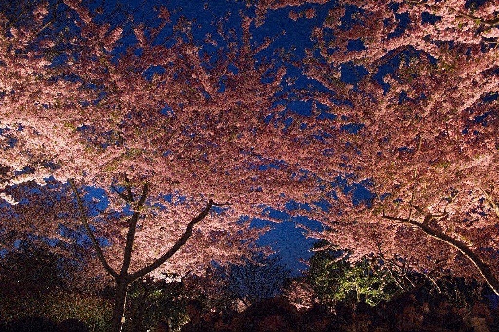 ▲三重名花之里夜櫻。(圖/攝影者:Steven Reynolds, Flickr...