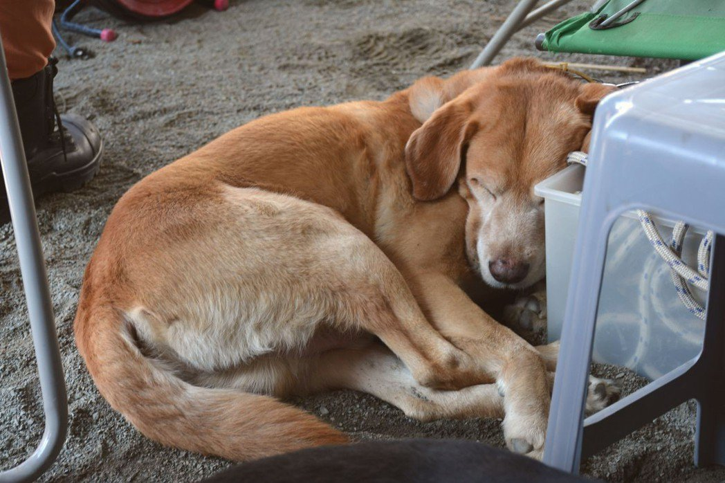 搜救犬卡拉經驗豐富,前年在維冠金龍大樓倒塌現場待命7天,累趴就在休息區閉眼睡覺。...