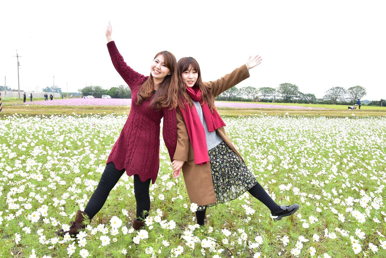 彰化縣埤頭鄉旁一大片的白色、粉色波斯菊正盛開,是春遊的好選擇。記者林宛諭/攝影