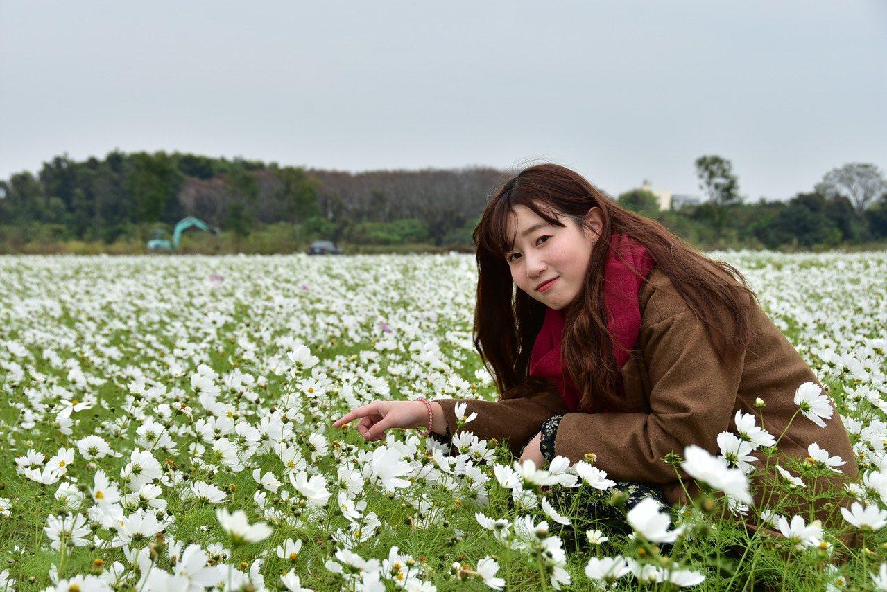 彰化縣埤頭鄉明道大學旁一大片的白色波斯菊正盛開,非常美麗。圖/明道大學提供