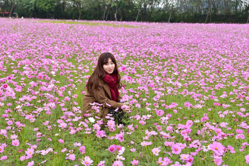 彰化縣埤頭鄉明道大學旁一大片的粉色波斯菊正盛開,是拍美照的好去處。記者林宛諭/攝...