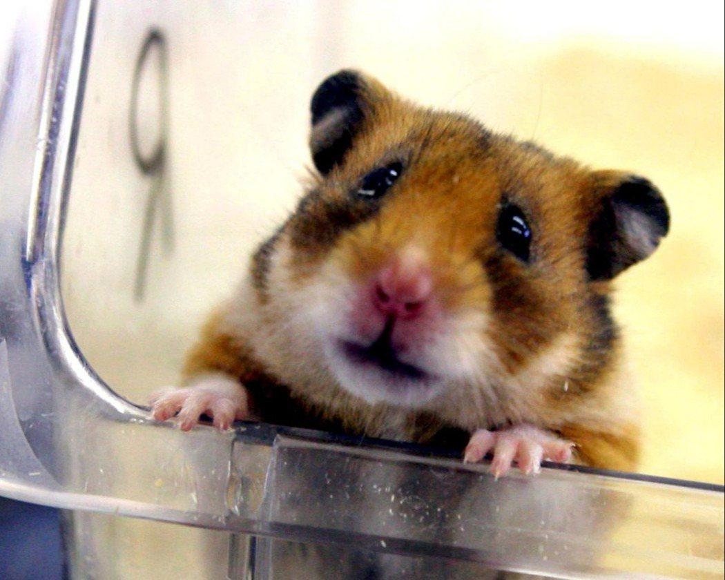 示意圖。美國女大生艾得寇西表示精神航空事前向她保證可帶她的倉鼠「小石子」同行,但...