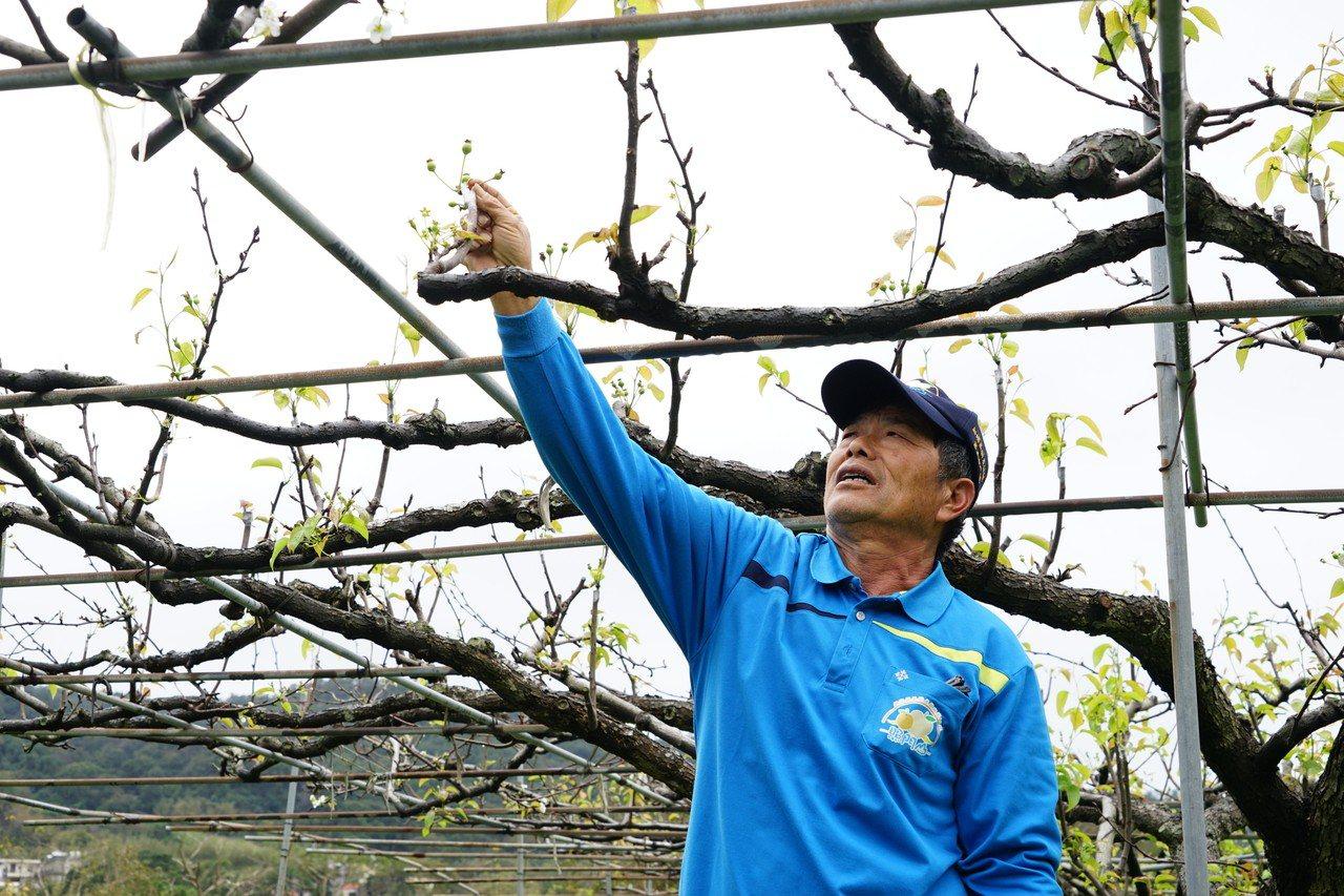 農民朱文龍說,就算有開花,但因濕冷,雨水把花粉打落,蜜蜂也不來授粉,等於無法著果...