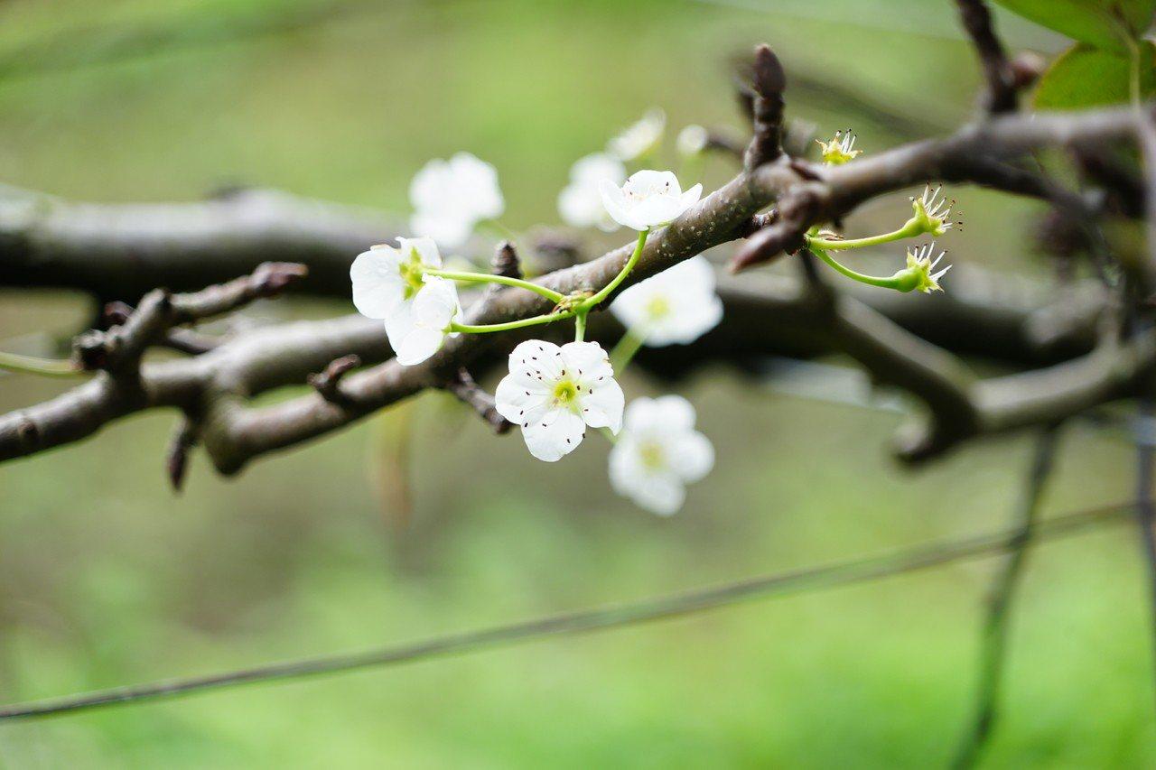 農民說,就算有開花,但因濕冷,雨水把花粉打落,蜜蜂也不來授粉,等於無法著果。記者...
