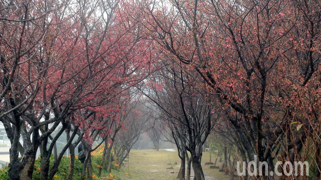 苗栗縣銅鑼鄉環保公園的櫻花有部分已綻放,不久將盛開與炮仗花爭豔。記者胡蓬生/攝影