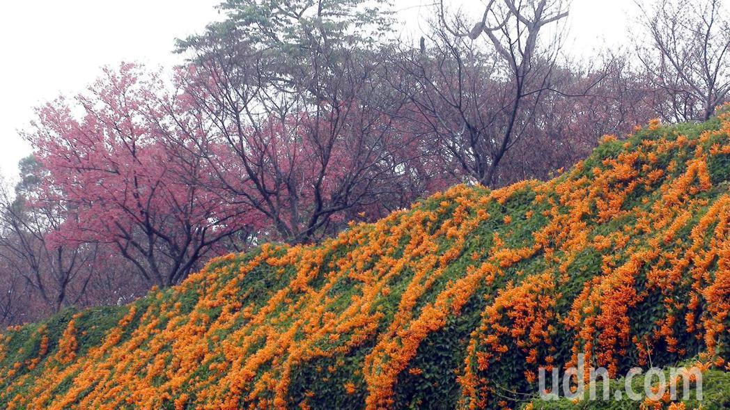 苗栗縣銅鑼鄉環保公園的炮仗花已盛開,帶來迎春的喜氣。記者胡蓬生/攝影