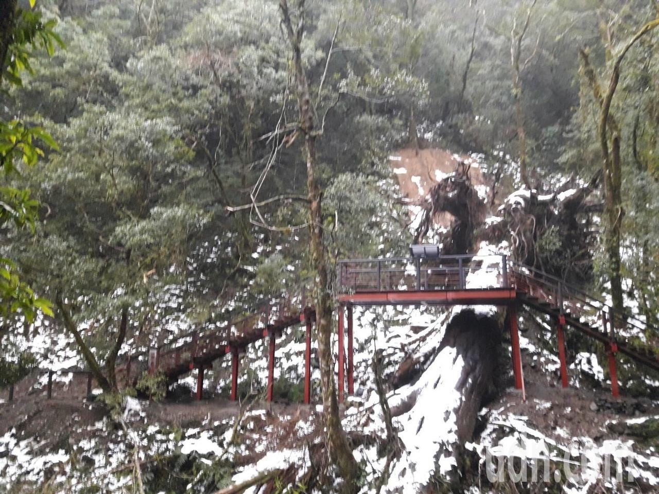 桃園市復興區拉拉山自然保護區,6號巨木附近的未編號巨木,受梅姬颱風襲擊而倒塌,為...