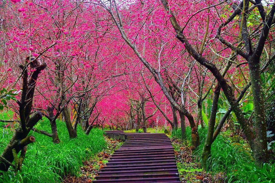 木棧階梯旁的櫻花花海,形成浪漫的櫻花隧道。圖/網友王嘉政授權使用