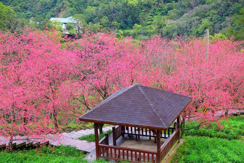 從高處向下望,可看見大片的花海美景。圖/網友王嘉政授權使用