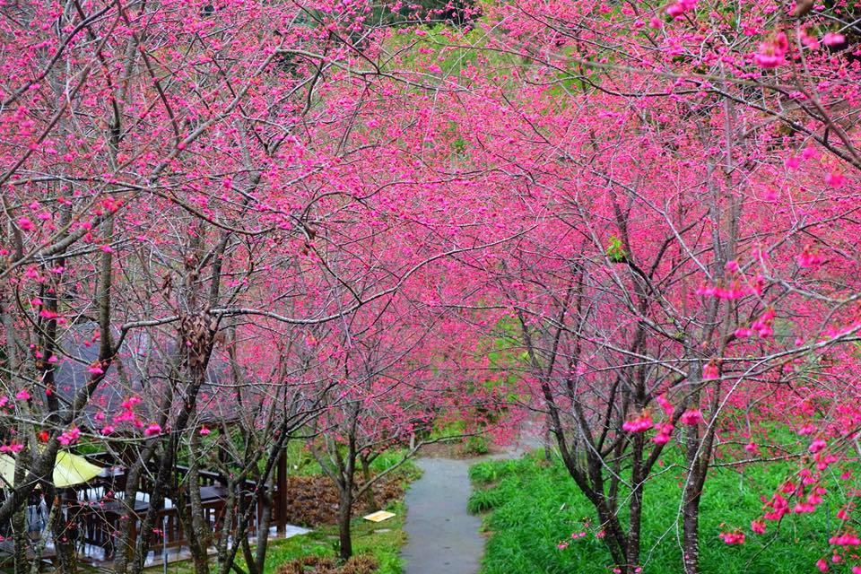 目前沐心泉農場的櫻花已開過7成,正是賞櫻好時機。圖/網友王嘉政授權使用