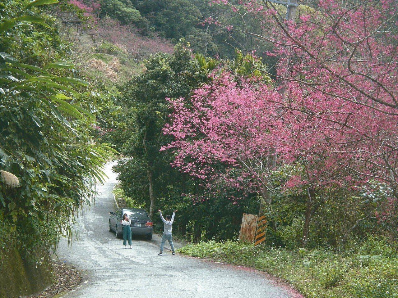 金針山沿途路旁就可看到櫻花盛開,令人賞心悅目,吸引遊客佇足拍照。 記者尤聰光/攝...