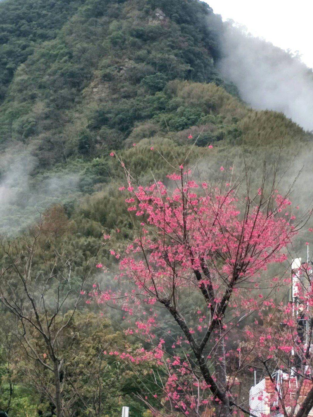 寒流來襲,桃園市復興山區清晨低溫下探,山區隨溫氣回升,各種櫻花連日盛開更美。圖/...