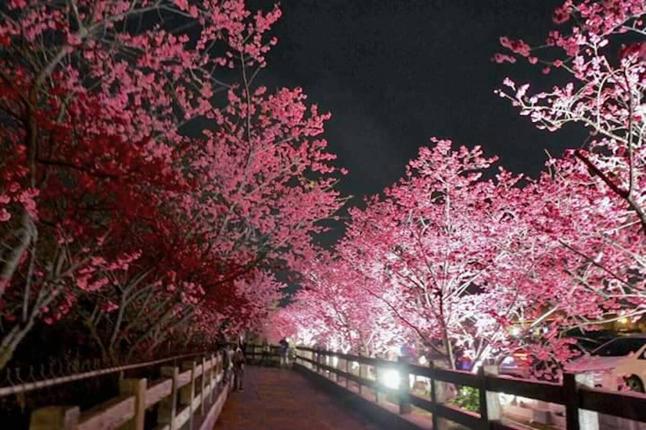 台中市大甲警分局泰安派出所周圍種植百棵八重櫻,每年二月底花期都會吸引大批遊客到訪...
