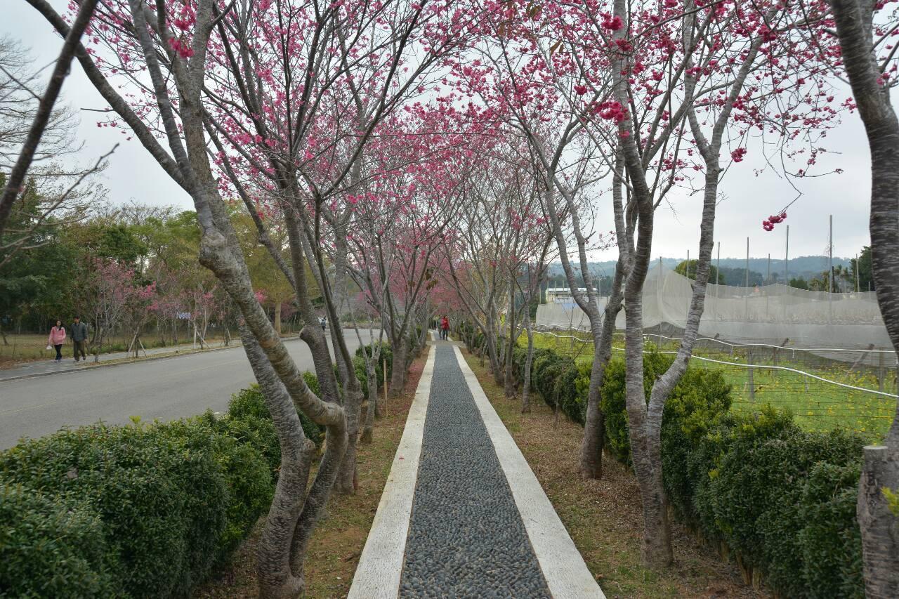 新社櫻花季。圖/新社區公所提供