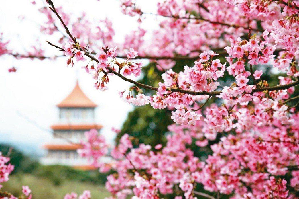 淡水無極天元宮三色櫻正盛開。圖/新北景觀處提供