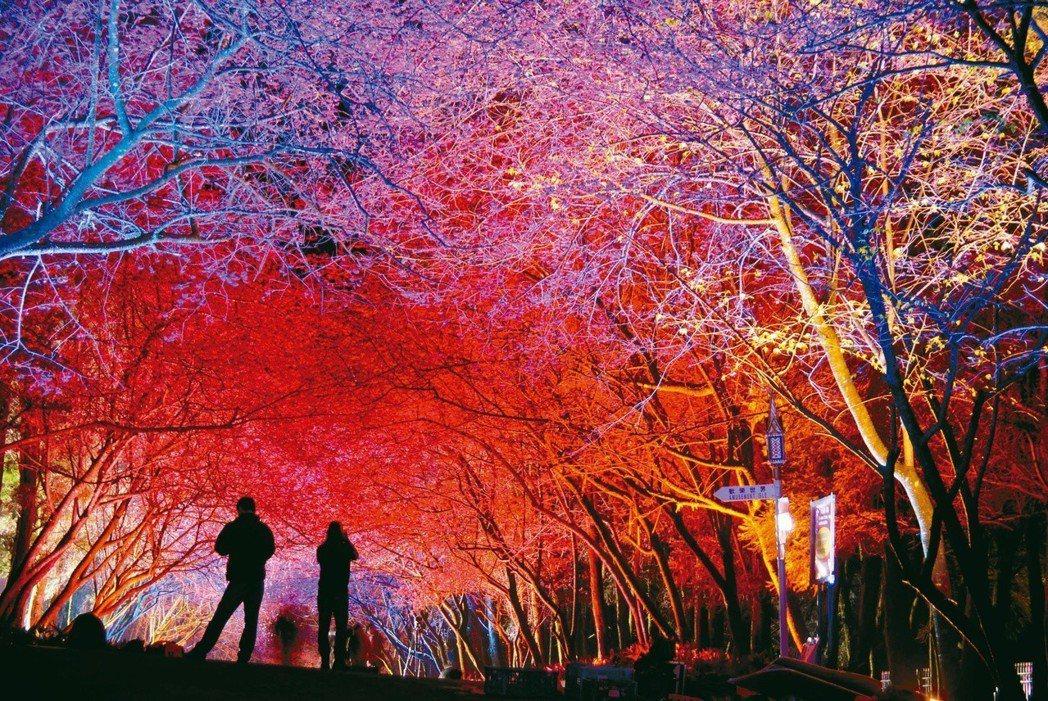 九族櫻花祭夜晚的櫻花。圖/中央社