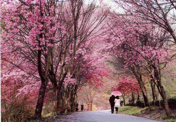 武陵農場是賞櫻勝地。圖/公路總局提供