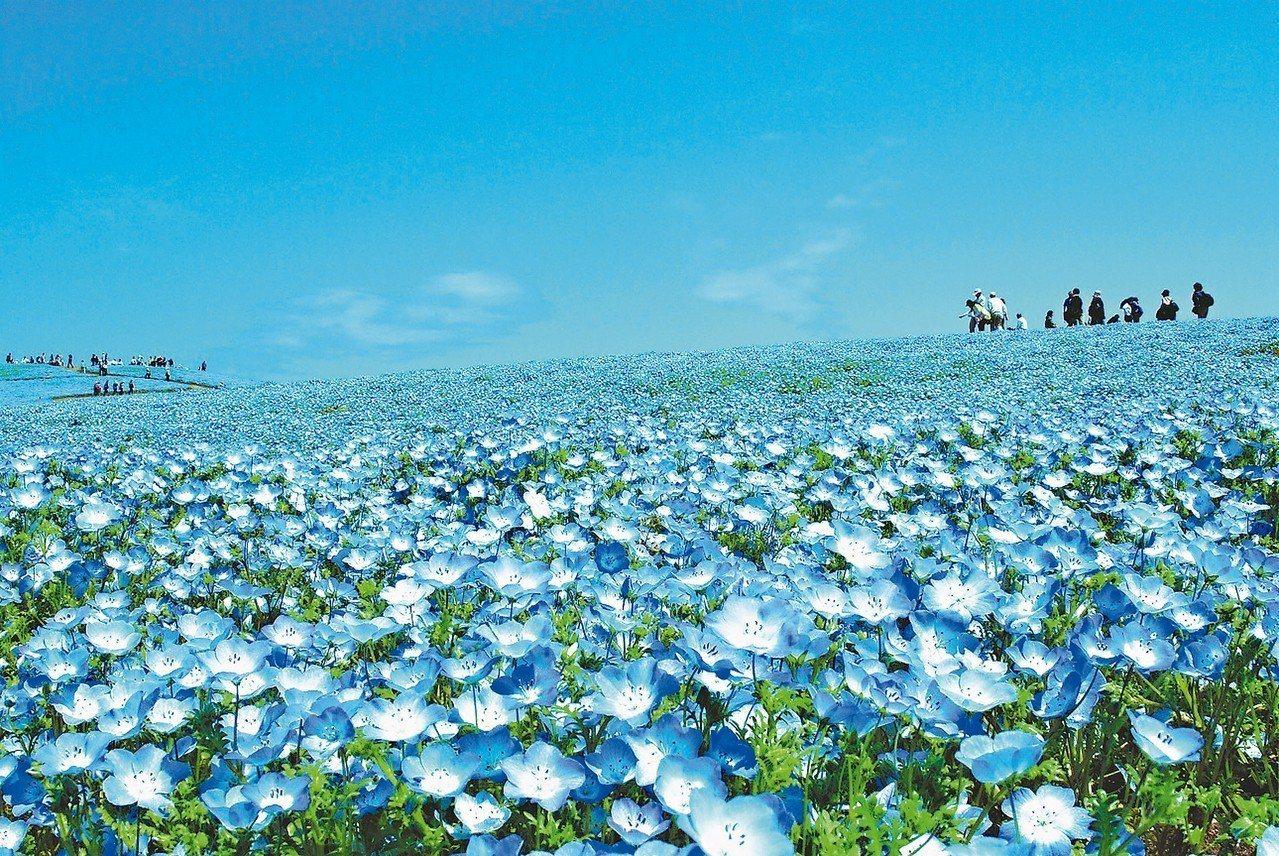 日立海濱公園粉蝶花,花天一線的美景。 圖/有行旅提供