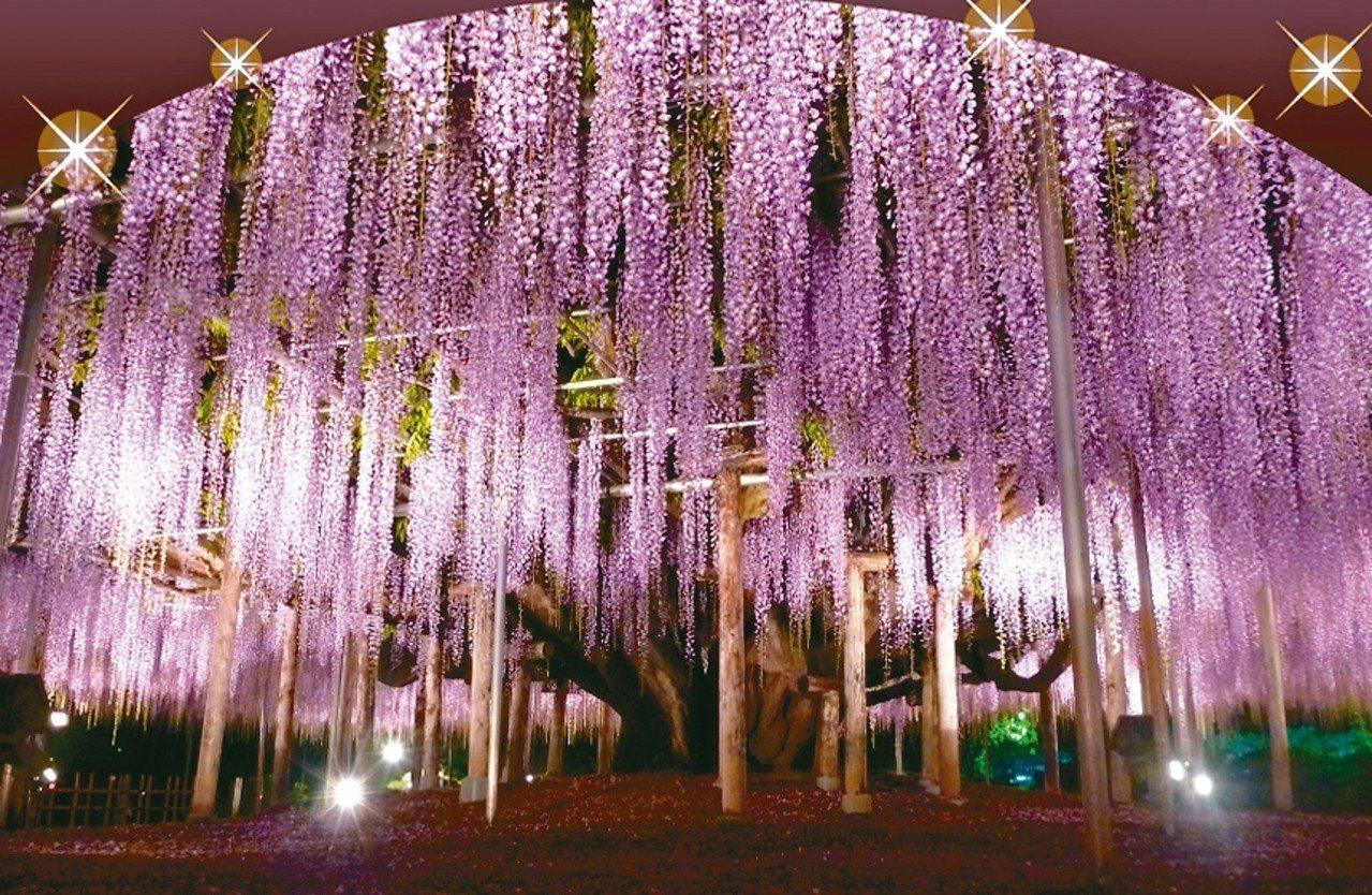 足利花卉公園絕美紫藤花夜景。 圖/有行旅提供