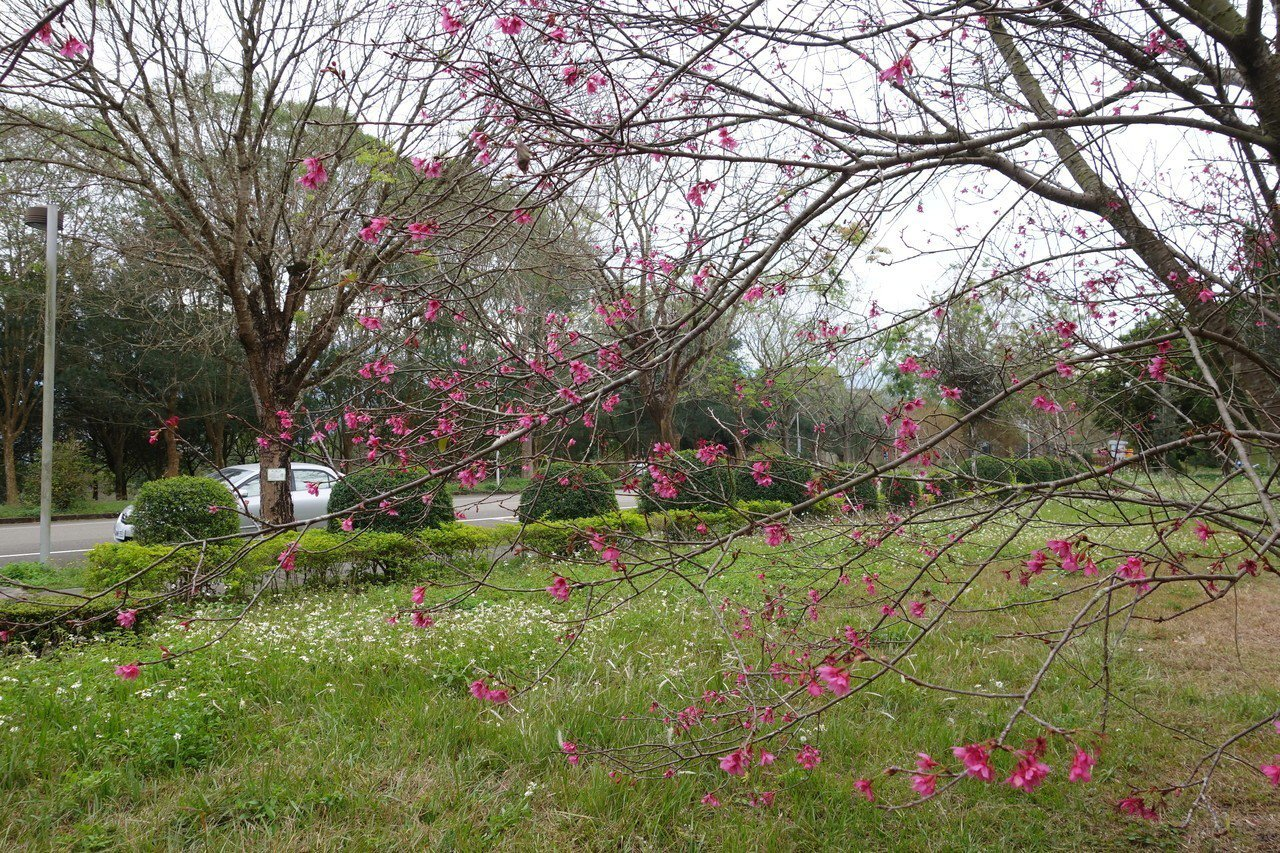 國立暨南國際大學雖是校區,但擁大片草坪,更栽種上千株多品種櫻花,成熱門旅遊景點。...