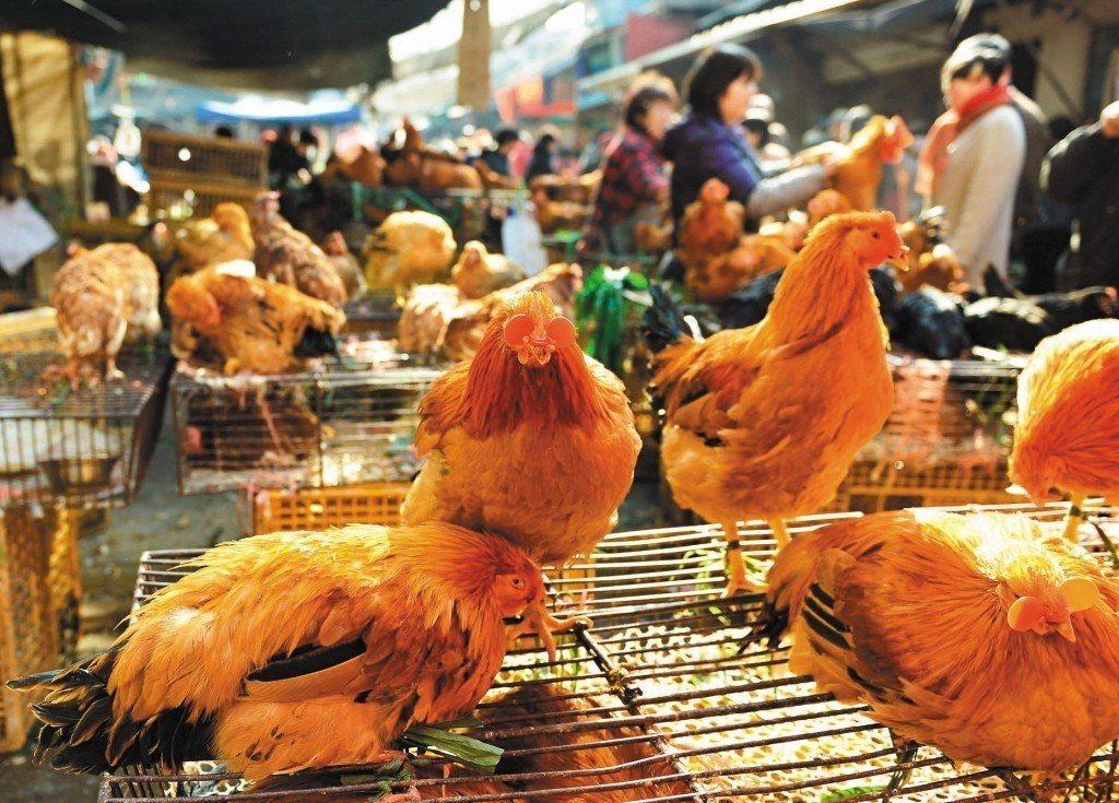 大陸廣東省昨向香港通報省內出現今年入冬首例人類感染H7N9個案。 (新華社)