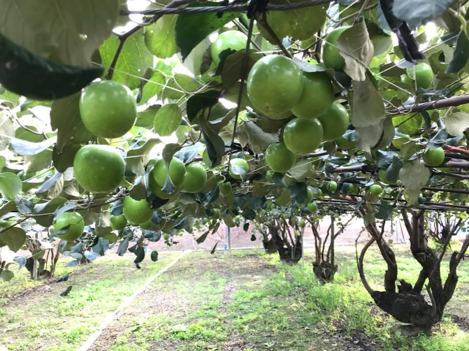 台灣首批獲准輸日的蜜棗,本周開始進行採收,並立刻送往卓蘭進行檢疫處理。圖/農委會...